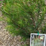 Austromyrtus tenuifolia – midgen berry thumbnail