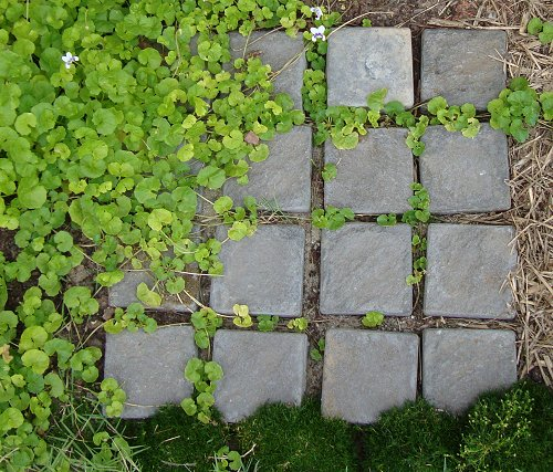 Native violet growing around the cobblestones