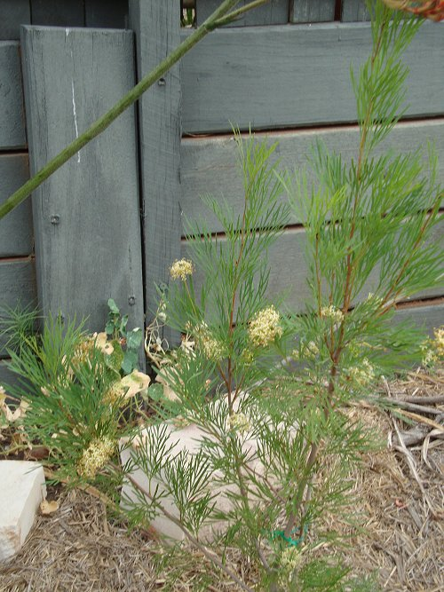 Stenocarpus Doreen