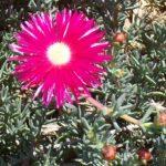 Pigface Red – Mesembryanthemum thumbnail