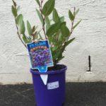 Hardenbergia violacea thumbnail