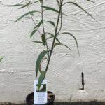 Plunkett Mallee – Eucalyptus Curtisii thumbnail
