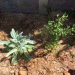 Leptospermum polygalifolium – Wild May thumbnail