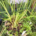 Philydrum lanuginosum – Frogsmouth thumbnail