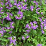 Scaevola – Fan Flower thumbnail