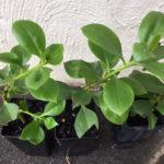 Myoporum boninense ssp.australe (Boobialla) thumbnail