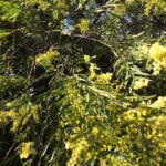 Acacia Fimbriata – Brisbane Wattle thumbnail