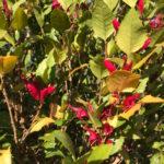 Graptophyllum ilicifolium – Holly Fuschia thumbnail