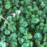 Viola Hederacea / Banksii (Native Violet) thumbnail