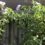 Pandorea Jasminoides – Bower of Beauty thumbnail