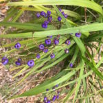 Dianella  brevipendunctulata – Blue Flax-Lily thumbnail
