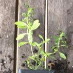 Mentha satureioides – Bush Mint thumbnail